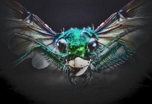 Caeorleian bug